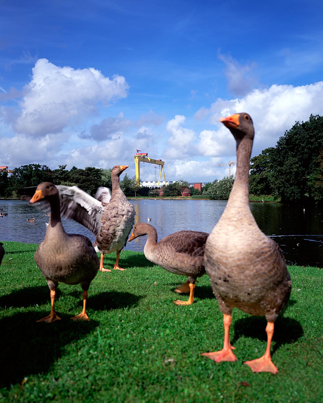east-belfast-victoria-park-geese